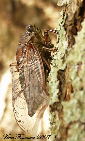 Cicada crawling up a tree (Tibicen figurata).