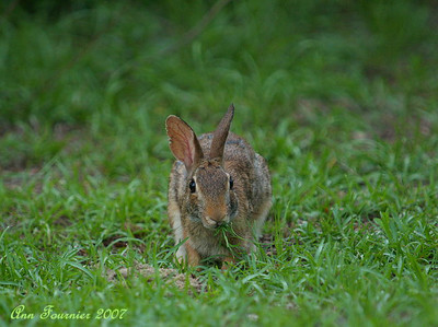 Wild rabbit in the yard.