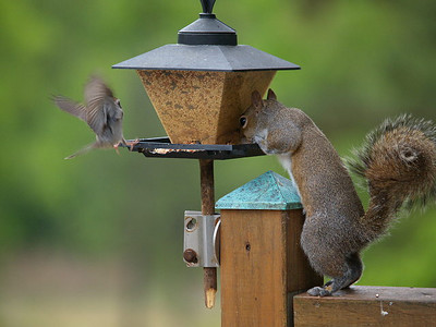 Squirrel & Sparrow at feeder.