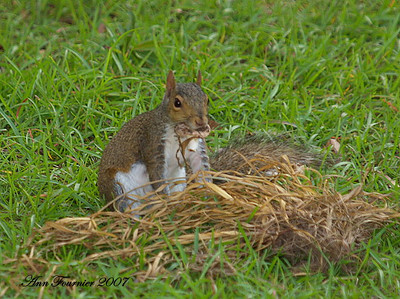 Squirrel eating a mushroom.