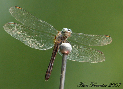 Dragonfly on the car's antenna