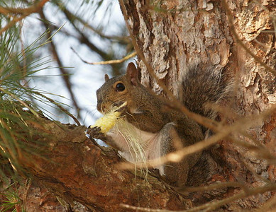 Squirrel eating corn cob.