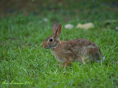 Wild rabbit in the yard, eating grass.