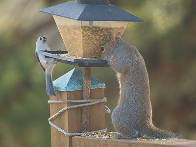 Squirrel & Titmouse at feeder