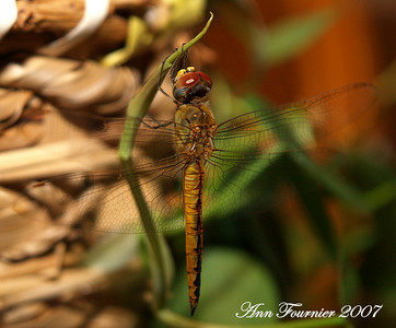 Dragonfly resting on plant.