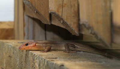 Skink on the porch.