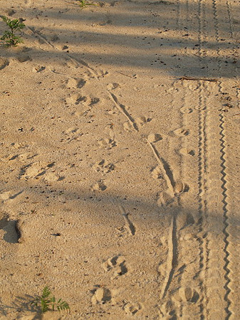 Paw tracks on the path.