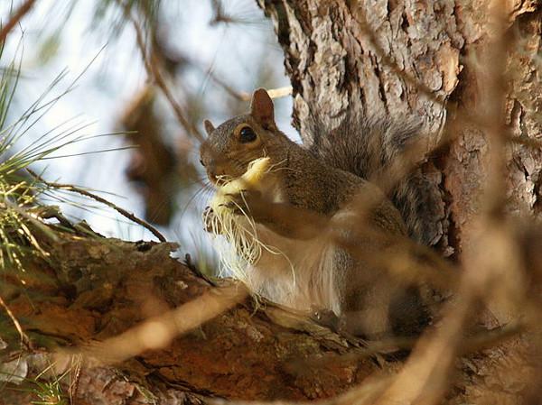 Squirrel eating corn cob.