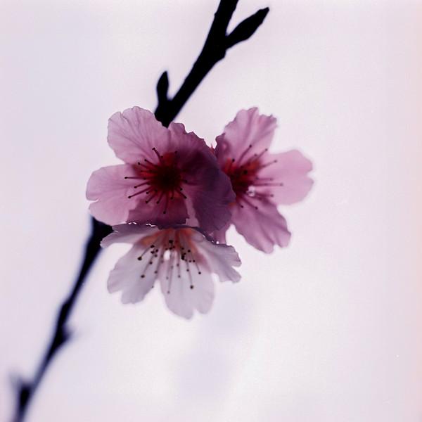 Last of the sakura - 2015-05-05