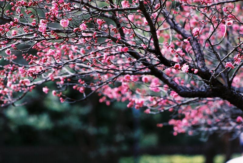 Simply sakura