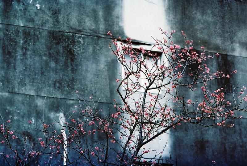 15. City Sakura  /  城市裡的櫻花