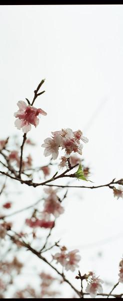 Sakura wide