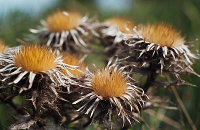 Carlina vulgaris, Kortbladig spåtistel, Asteraceae, Korgblommiga