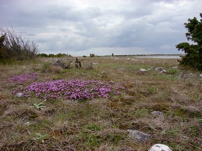 Thymus serpyllum, Backtimjan, Lamiaceae, Kransblommiga