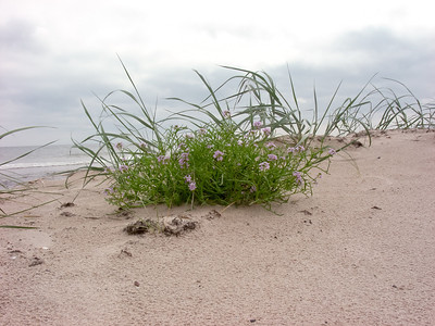 Cakile maritima baltica, Baltisk marviol, Brassicaceae, Korsblommiga
