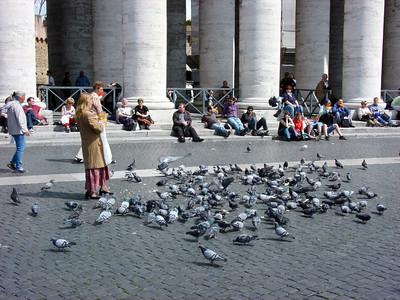 Columba livia domestica, Stadsduva, Feral pigeon