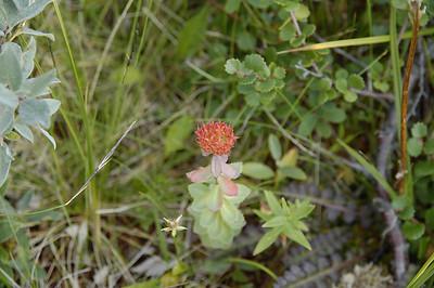 Rhodiola rosea, Rosenrot, Crassulaceae, Fetbladsväxter