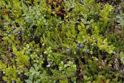 Vaccinium myrtillus, Blåbär, Ericaceae, Ljungväxter