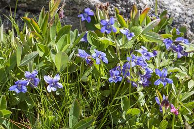 Viola camina, Ängsviol, Violaceae, Violväxter