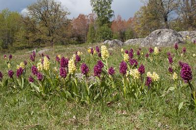 Dactylorhiza latifolia (Adam och Eva), Orchidaceae (Orkidéer)