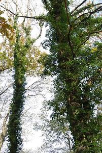 Hedera helix, Murgröna, Araliaceae, Araliaväxter