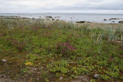 Melampyrum arvense, Pukvete, Scrophulariaceae, Lejongapsväxter ,Orobanchaceae Snyltrotsväxter