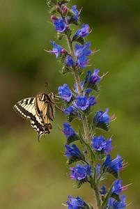 Papilio machaon, Makaonfjäril, Echium vulgare, Blåeld, Boraginaceae, Strävbladiga