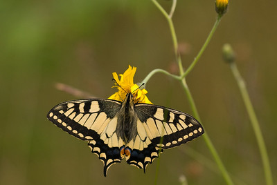 Papilio machaon, Makaonfjäril