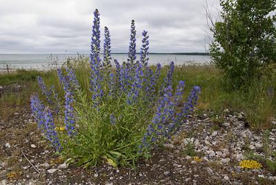 Echium vulgare, Blåeld, Boraginaceae, Strävbladiga