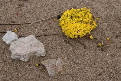 Sedum acre, Gul fetknopp, Crassulaceae, Fetbladsväxter