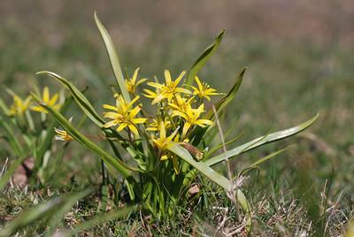 Gagea lutea, Vårlök, Liliaceae, Liljeväxter