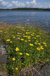Inula salicina, Krissla, Asteraceae, Korgblommiga
