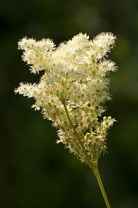 Filipendula ulmaria, Älggräs, Rosaceae, Rosväxter