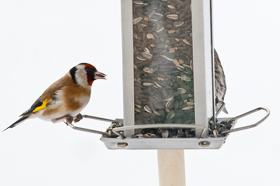 Goldfinch (Carduelis carduelis, Steglits)