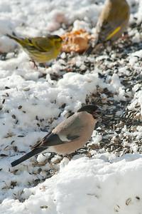 Bullfinch, Siskin and Greenfinch (Pyrrhula pyrrhula, Domherre, Carduelis spinis, Grönsiska and Carduelis choris, Grönfink)