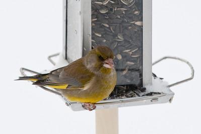 Greenfinch (Carduelis choris, Grönfink)