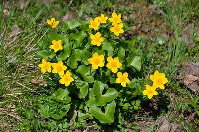 Caltha palustris, Kabbleka, Ranunculaceae, Ranunkelväxter