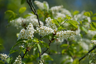 Bird cherry (Prunus padus, Hägg)