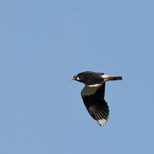 Northern Lapwing (Vanellus vanellus, Tofsvipa)