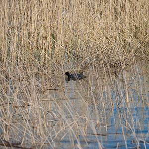 Eurasian Coot (Fulica atra)