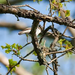 Pied Flycatcher (Ficedula hypoleuca, Flugsnappare)