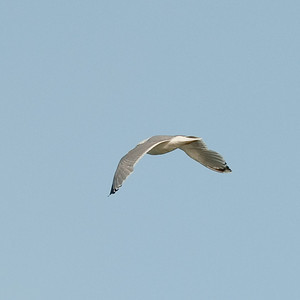Herring Gull (Larus argentanus, Gråtrut)
