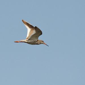 Redshank (Tringa totanus, Rödbena)