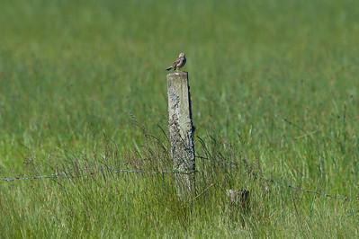 Meadow pipit (Anthus pratensis, Ängspiplärka)