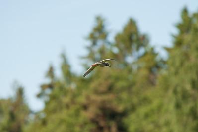 Common Redshank (Tringa totanus, Rödbena)