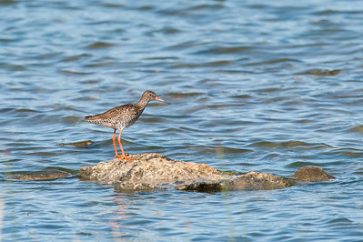 Common Redshank (Tringa totanus, Rödbena)