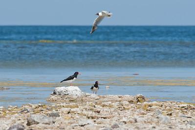 Strandskata (och flygande skrattmås), Skärsände