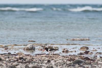 Strandskata (och mindre strandpipare), Skärsände