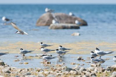 Flygande silvertärna, Skärsände