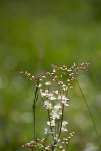 Filipendula vulgaris, Brudbröd, Rosaceae, Rosväxter